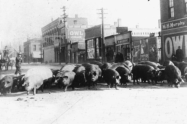 Cattledrove-hogs