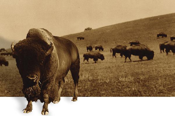 apr11_last_buffalol_roundup