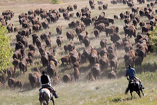 boggs-unleashed_south-dakota_buffalo-roundup_custer-state-park