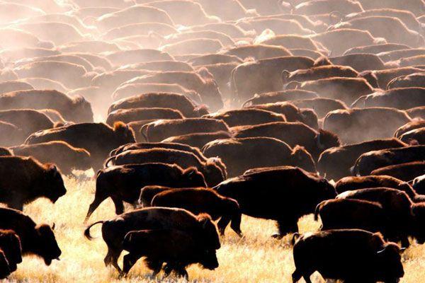 buffalo-heard-1-blog