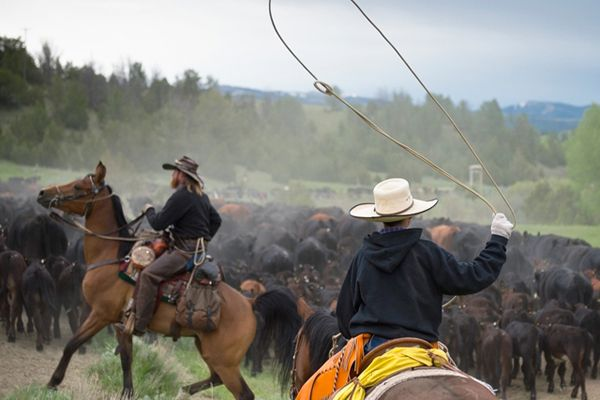 cattle-drive-blog