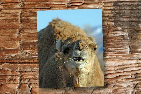 camels-blog