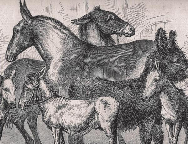 mule lingo true west