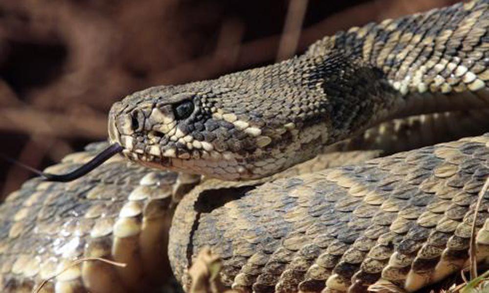 wakin snakes
