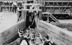 photo cattle loaded onto train chicago stockyards