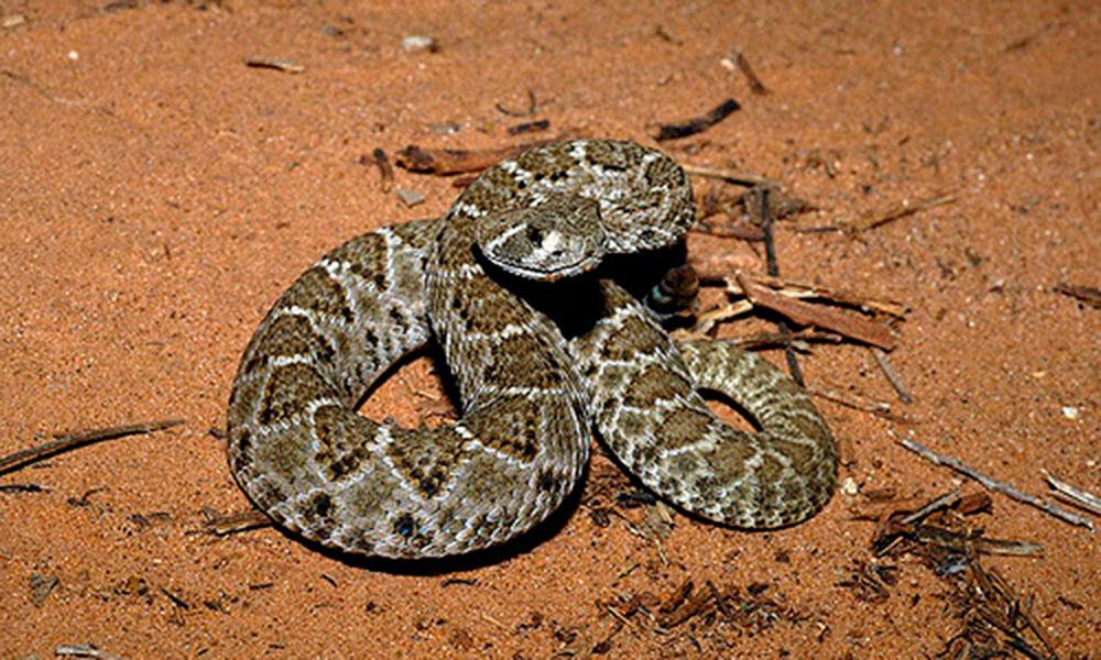rattlesnake true west magazine