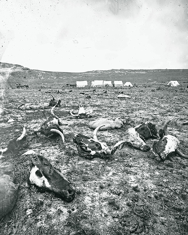 slaughterhouse steer heads field desert andrew j russell true west magazine