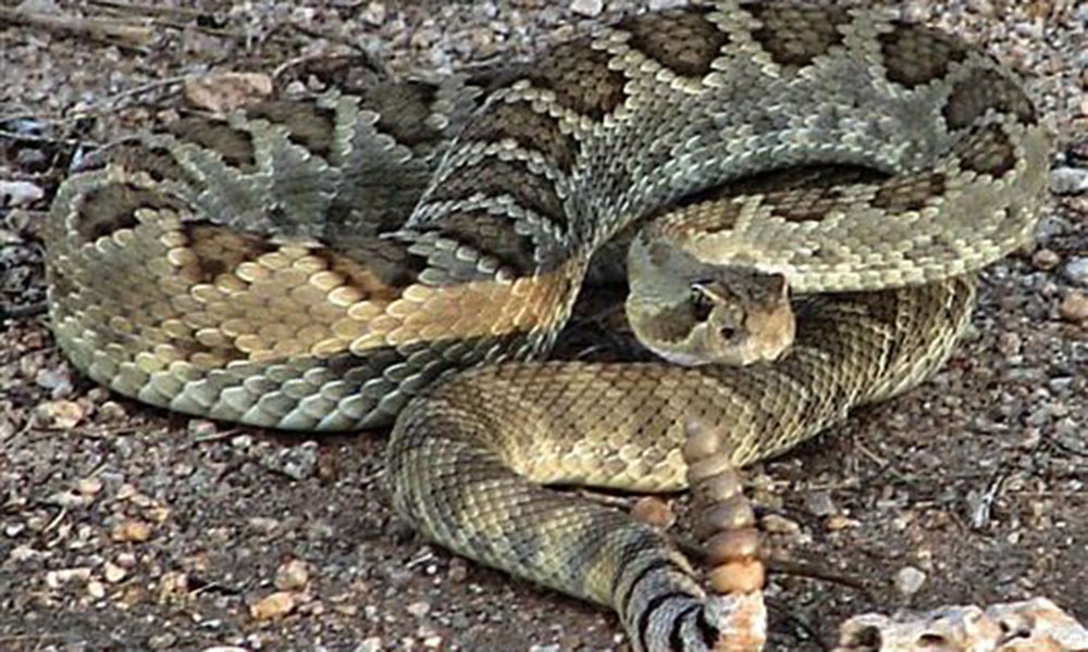 mohave green rattlesnake true west magazine