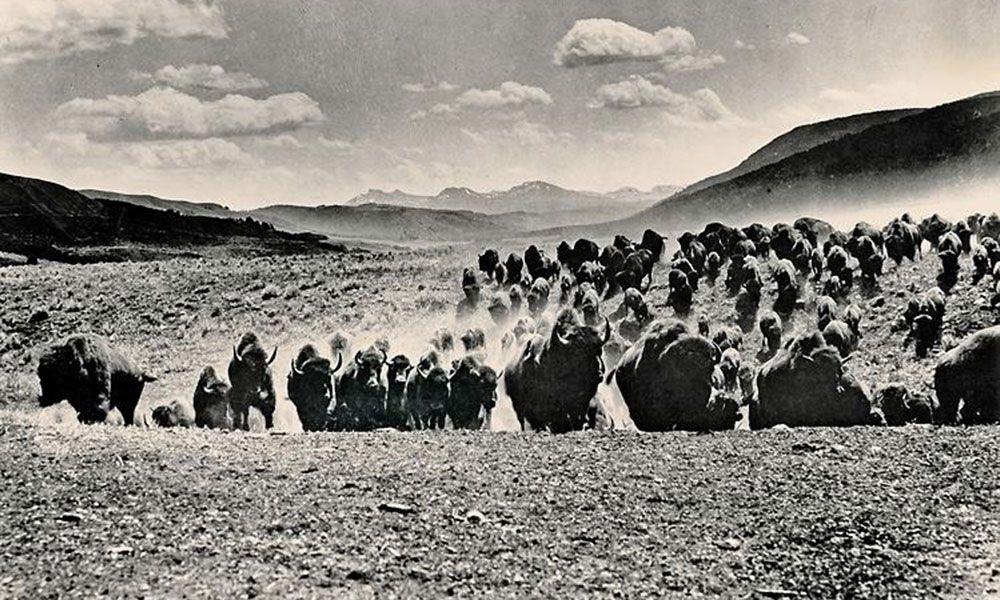 american bison buffalo in field true west magazine