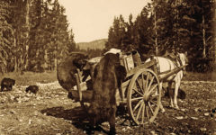 bears rummaging through wagon in yellowstone national park true west magazine