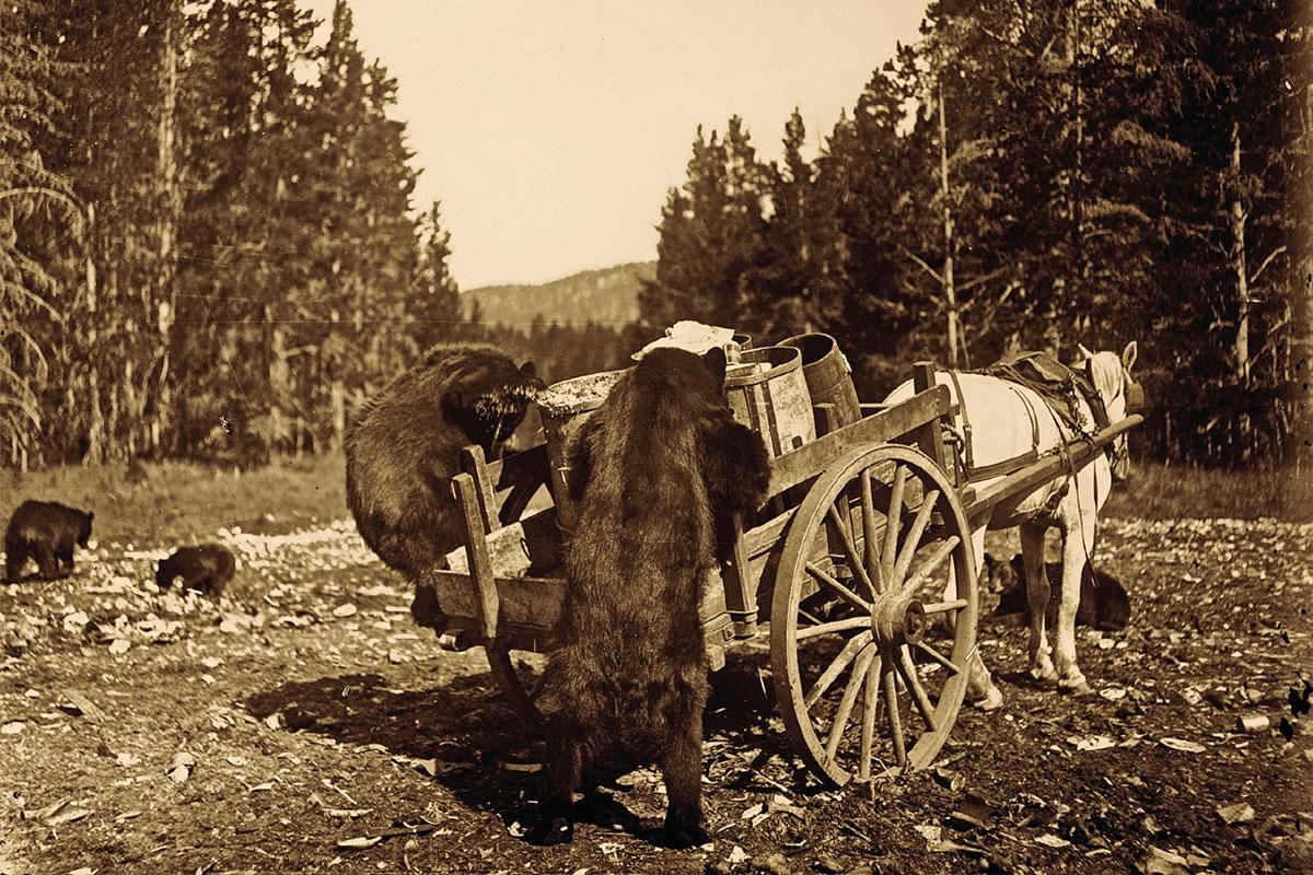 bears rummaging through wagon in yellowstone national park true west magazine