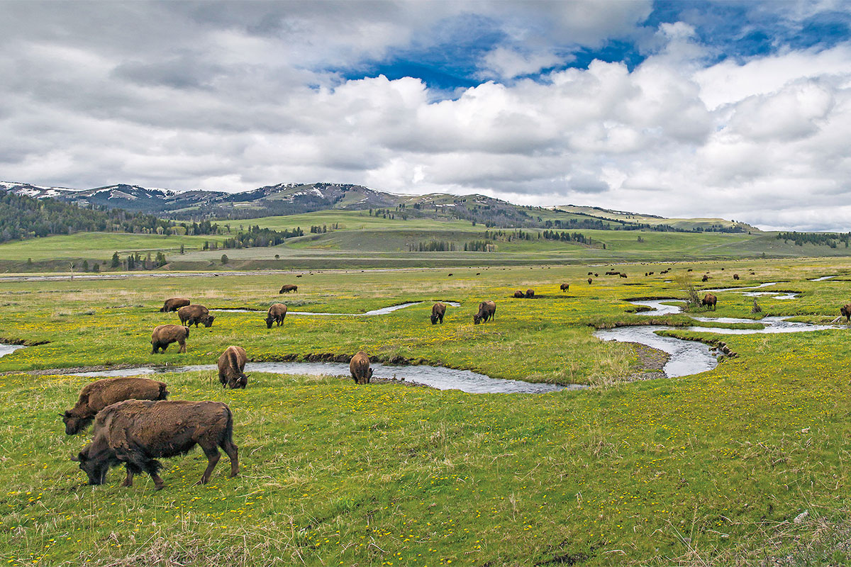 buffalo grazing red lodge montana true west magazine
