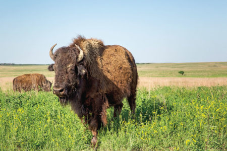 pawhuska buffalo true west magazine