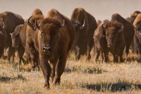 bison true west magazine